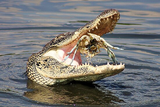 Alligator Catching and Cracking a Crab by Paulette1021