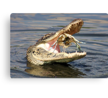 Alligator Catching and Cracking a Crab Canvas Print