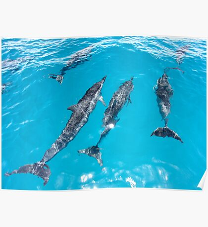 Spinner Dolphins Bow Riding Poster