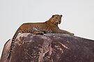Wild Male Leopard by Neil Bygrave (NATURELENS)