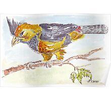 Crested Barbet in my garden Poster