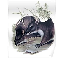 The Parma wallaby painting Poster