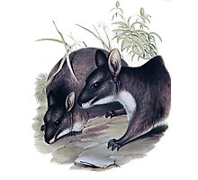 The Parma wallaby painting Photographic Print