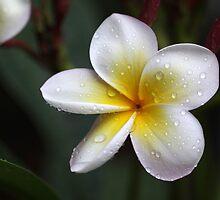 some flowers of the southern hemisphere by Iris Mackenzie