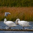 Swans at Magra 2 by dougie1page2