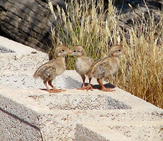 """Where are our Parents"" (Gambel's Quail babies) by Sherry Pundt"