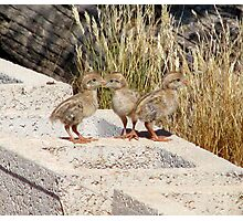 """Where are our Parents"" (Gambel's Quail babies) Photographic Print"