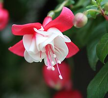 *FUSCHIA* by Van Coleman