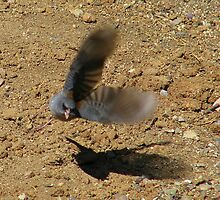"""Watch out I'm coming at ya"" Dark eyed Junco by Sherry Pundt"