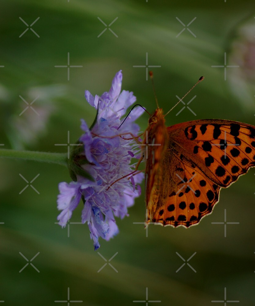 Familiar butterfly - High brown fritillary butterfly  by loiteke