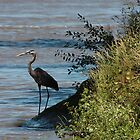 Great Blue Heron by Dan Owens