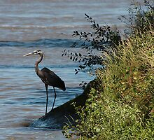 Great Blue Heron by Daniel Owens