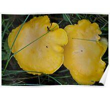 Yellow Chanterelles Poster