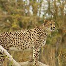 Cheetah Reconnaissance  by Sandra Chung