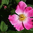 Wild Rose by Nadya Johnson