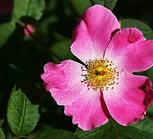 Wild Rose by Nadya Johnson