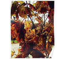 Grape Leaves in Autum Poster