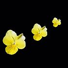 Violas in Triplicate by Corri Gryting Gutzman