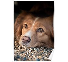 The Posing Toller Poster