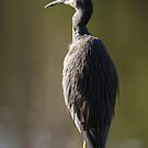 White Faced Heron by Gary  Davey (Jordy)