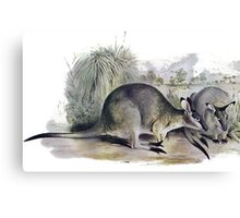 Western Brush wallaby Canvas Print