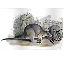 Western Brush wallaby Poster