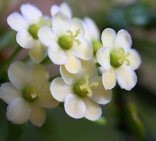 Phyllanthus microcladus by andrachne