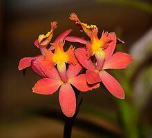 reed-stem Epidendrum Orchid by Wieslaw Jan Syposz