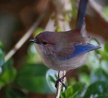 Male Blue Wren by Adrian Kent