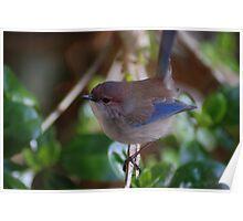 Male Blue Wren Poster