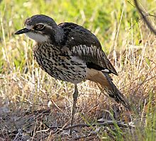 Bush Stone-curlew, Victoria by ChrisCoombes