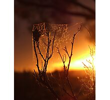 Saltbush Spiders... Photographic Print