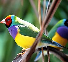 Gouldian Finch by EnviroKey