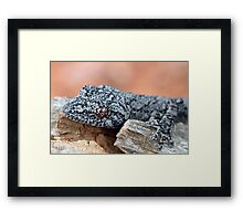 Southern Spiny-tailed Gecko Framed Print