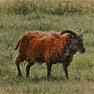 Soay Sheep by Avril Harris