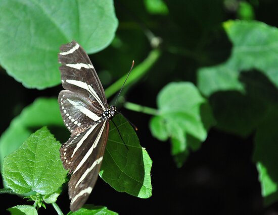 Zebra longwing butterfly by ClintDMc