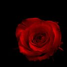 Red rose. by Livvy Young