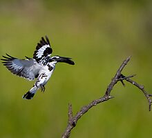 Pied Kingfisher WIth Fish by Neil Bygrave (NATURELENS)