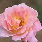 Johnnie's Rose by Ree  Reid