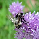 ~ Bee on Chive Flower ~ by Brenda Boisvert