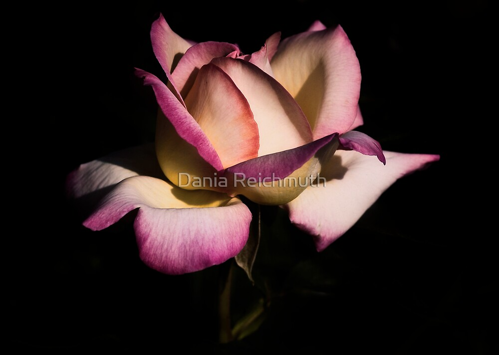 A Rose by Dania Reichmuth