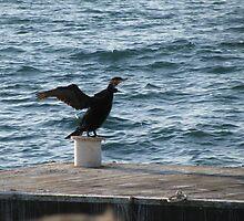 Alone cormorant at the coast. by rasim1