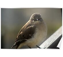 Pudgy - young Mocking Bird Poster