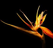 Bird of Paradise by smilyjay