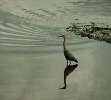 Waiting heron by Themis