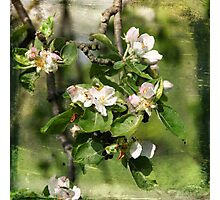 Apple Tree Photographic Print