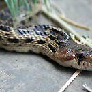 Gopher Snake by SKNickel