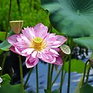 Pink Water Lily by Glenna Walker