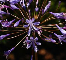 Agapanthus Burst by photojeanic