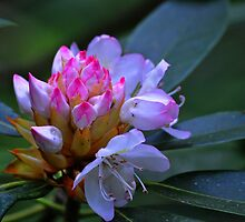 Mountain Laurel by Michelle  Edwards Insights Photography